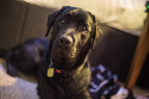 Picture of a black dog looking directly at camera with a black collar.  Space for assistance dogs needs to be accessible too.