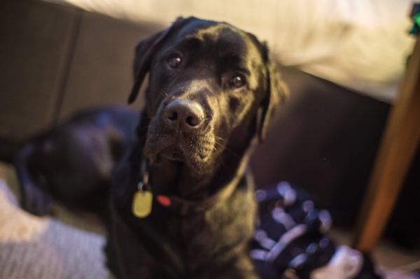 Picture of a black dog looking directly at camera with a black collar.